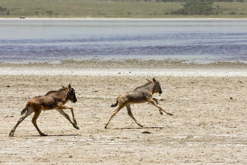 Verwaistes SchätzchenWildebeests, die in Serengeti laufen lizenzfreie stockfotografie