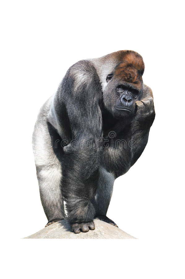 Verwarde gorilla stock afbeelding