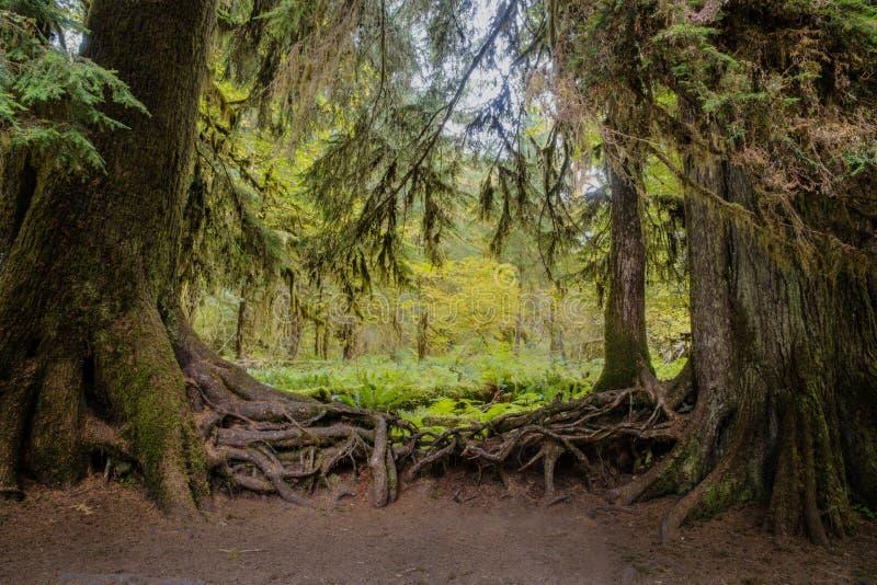 Verwarde wortels van bomen in Hoh Rain Forest, Olympisch Nationaal Park stock foto