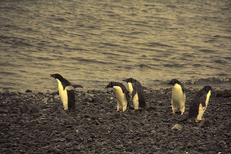 Verwarring - adelie pinguïnen niet zeker waar te te gaan stock foto