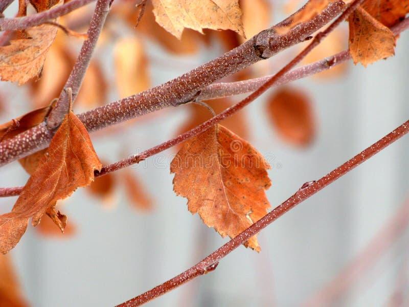 Verweilende eisige Herbst-Blätter stockbilder