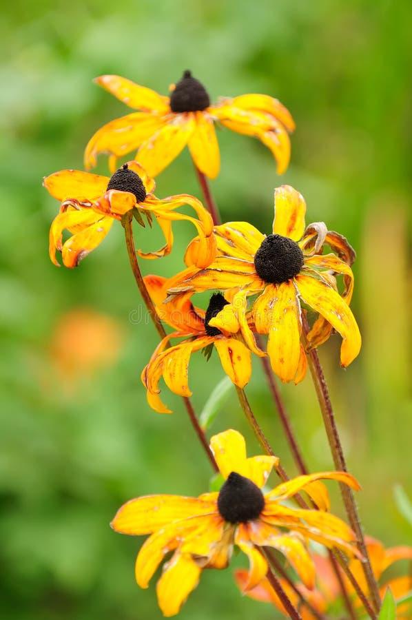 Verwelkende Fall-Blumen stockbild