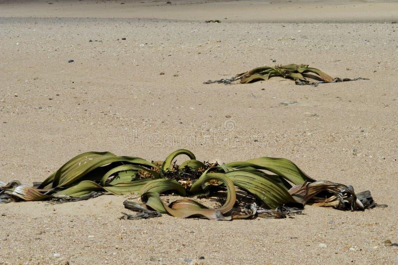 Verwelkte Anlagen in der Wüste stockbilder