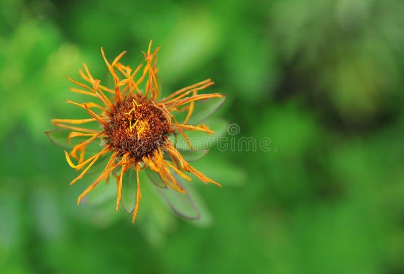 Verwelkte Blume auf einem grünen Hintergrund stockbild