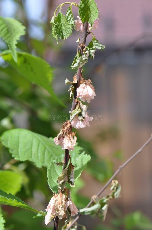 Verwelkte Frühlingsblume Mandeln trilobate stockbild