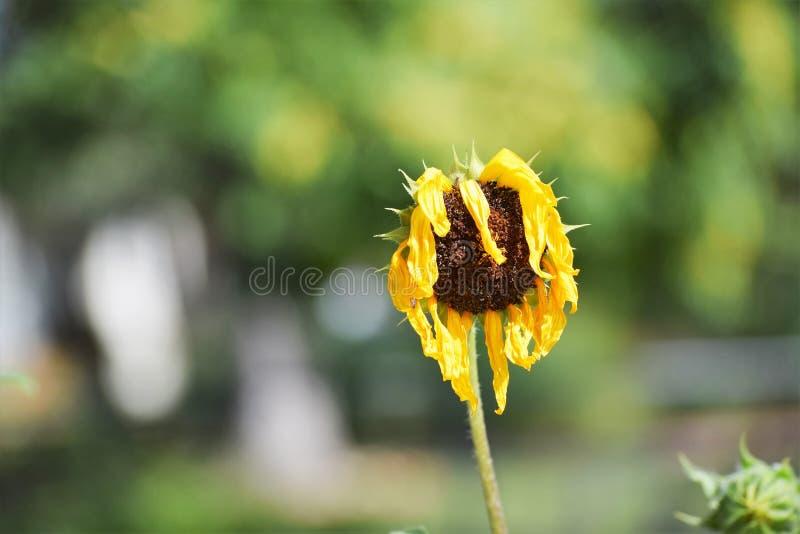 Verwelkte gelbe Blume lizenzfreie stockbilder
