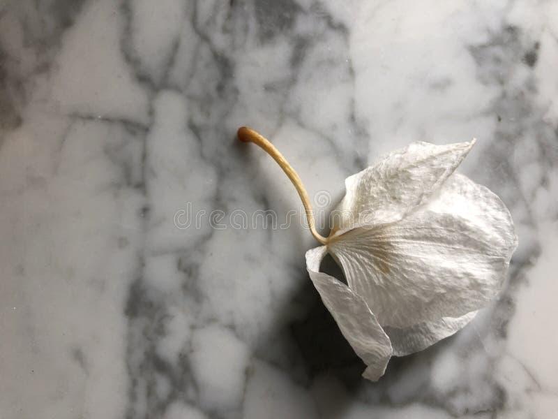 Verwelkte Orchidee bud-05 lizenzfreie stockfotos