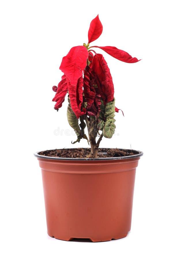 Verwelkte rode bloem in een bloempot royalty-vrije stock foto