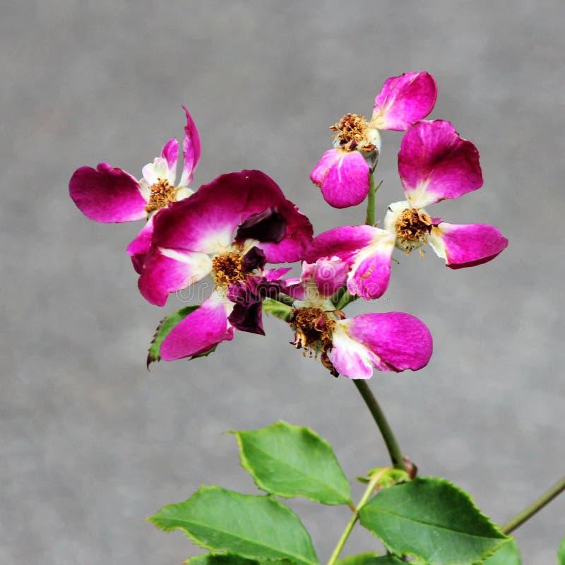 Verwelkte Rose Petals stock afbeelding
