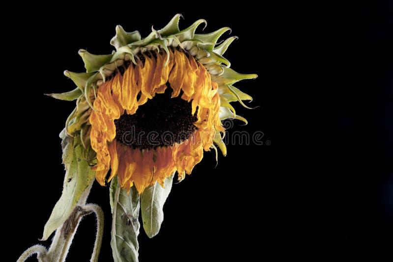 Verwelkte Sonnenblume stockfotografie