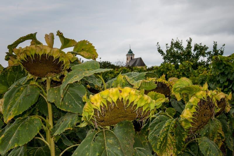 Verwelkte Sonnenblumen vor einer Kirche stockfotos
