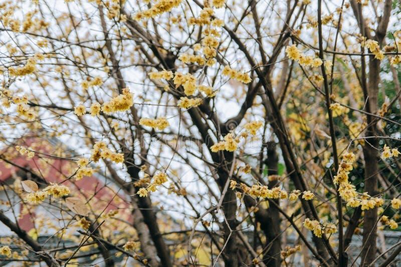Verwelkte wintersweet Blumen im kalten Winter lizenzfreie stockfotografie