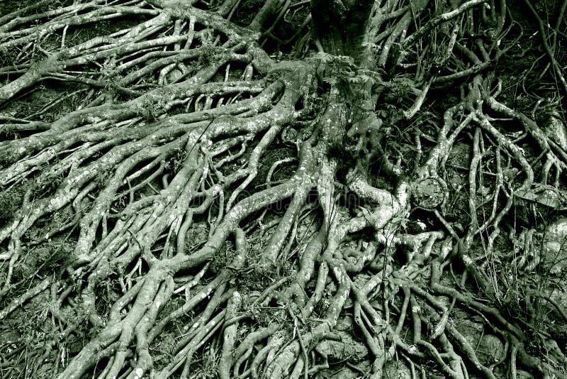 Verwicklung der Baumwurzeln stockfoto