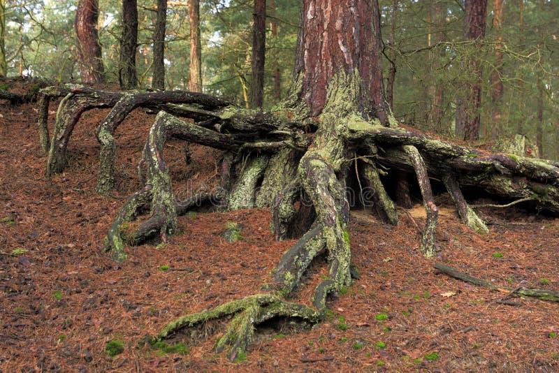 Verwicklung von Wurzeln eines Baums in einem Naturwald stockfoto