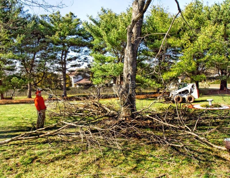 Verwijdering van Grote Esdoornboom stock foto's