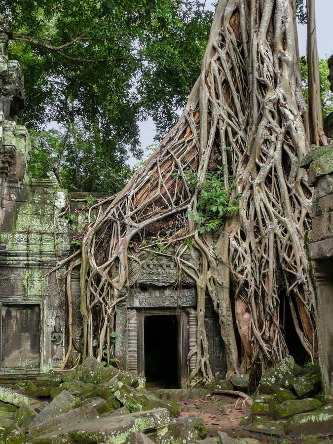Verwirrte Baumwurzeln überwältigen den Steintempel, Kambodscha stockfotos