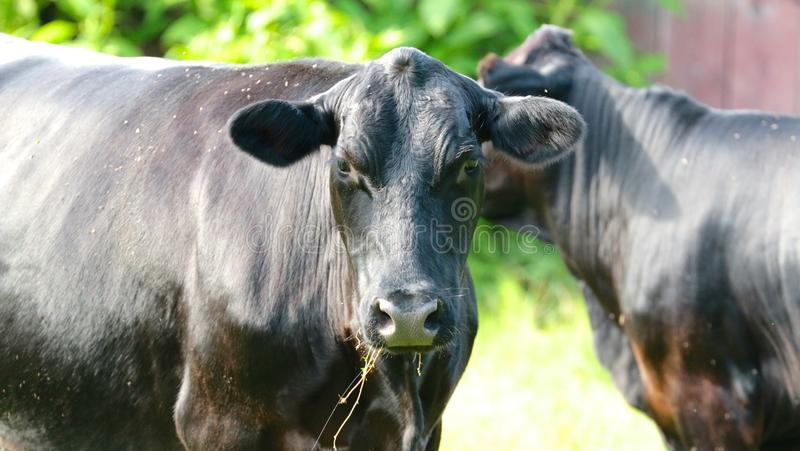 Verwirrte Kuh zwei lizenzfreies stockbild