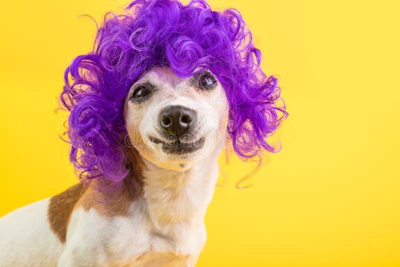 Verwirrtes Hundegesicht sonderbares lustiges Lächeln Gelber Hintergrund der gelockten lila Perücke stockfoto