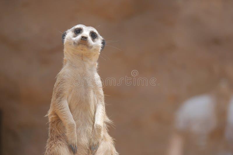 Verwirrtes Meerkat möchte Guten Tag sagen lizenzfreie stockbilder