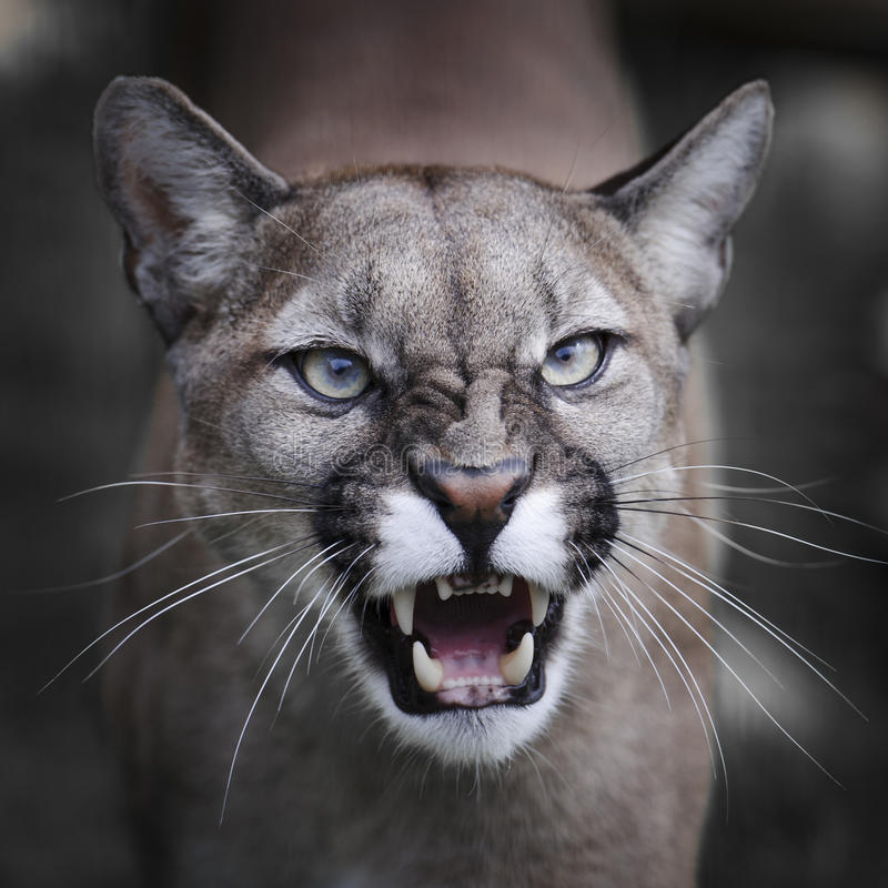 Verwirrung-Puma lizenzfreies stockfoto