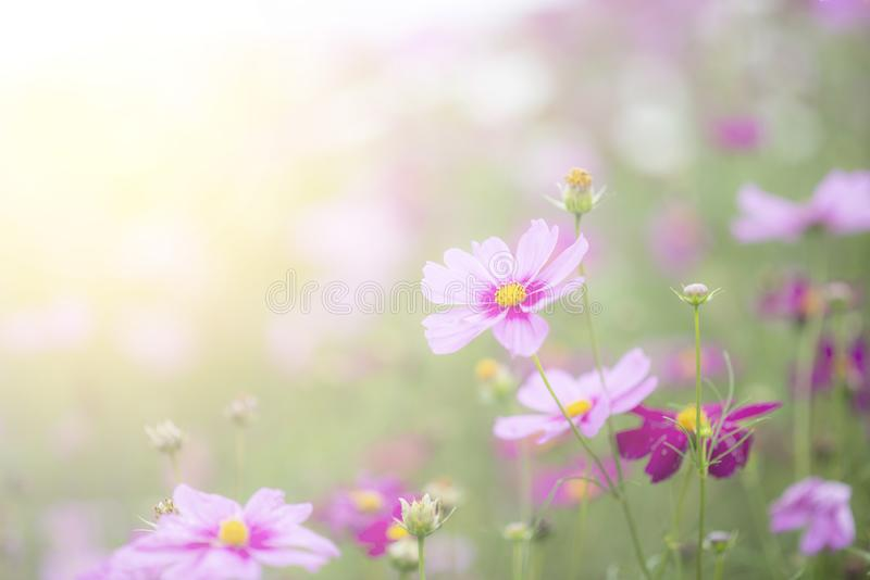 Verwischen Sie Blumen für Hintergrund, Kosmosblumenhintergrund in der Weinleseart stockfotos