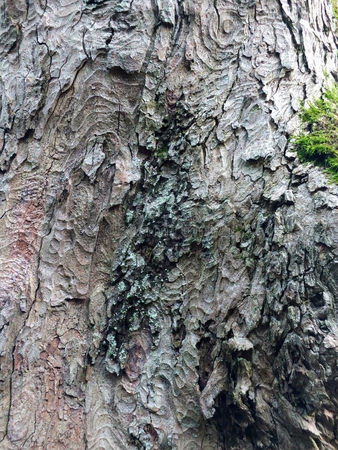 Verwitterte alte Buchenbaumrinde mit grünem Moos stockfoto