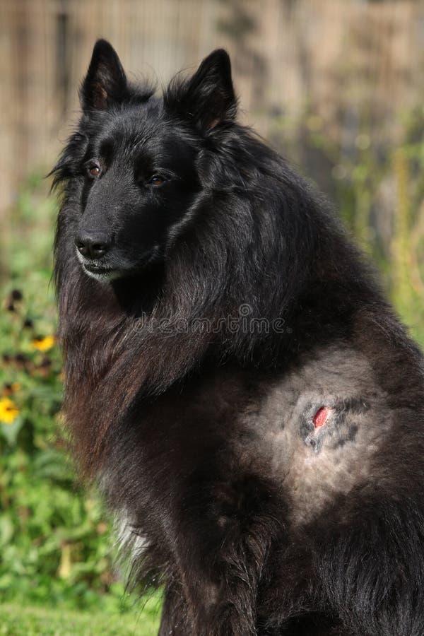 Verwond groenendael na strijd met andere hond royalty-vrije stock fotografie