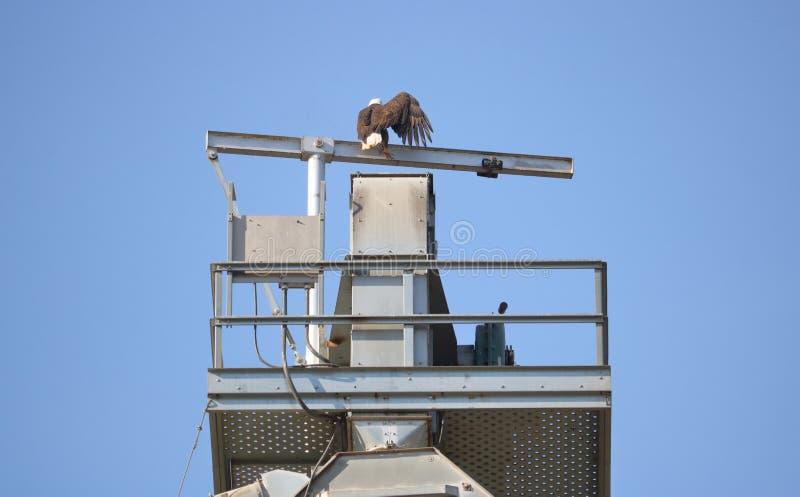 Verwond Kaal Eagle op Toren royalty-vrije stock fotografie