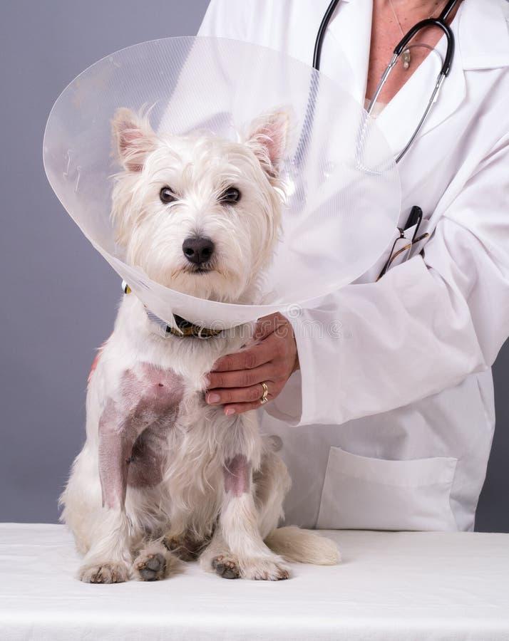 Verwonde Hond bij de Dierenarts stock fotografie