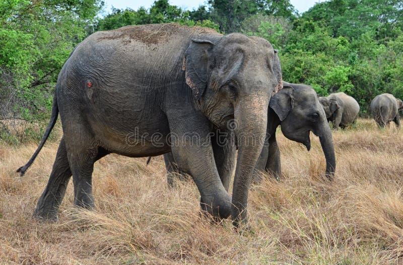 Verwonde olifant in de wildernis royalty-vrije stock foto