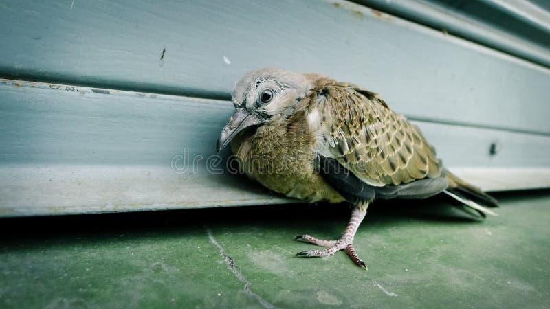 Verwonde vogels, Verwonde Duif, gebroken vleugel, eenzame Duif stock foto