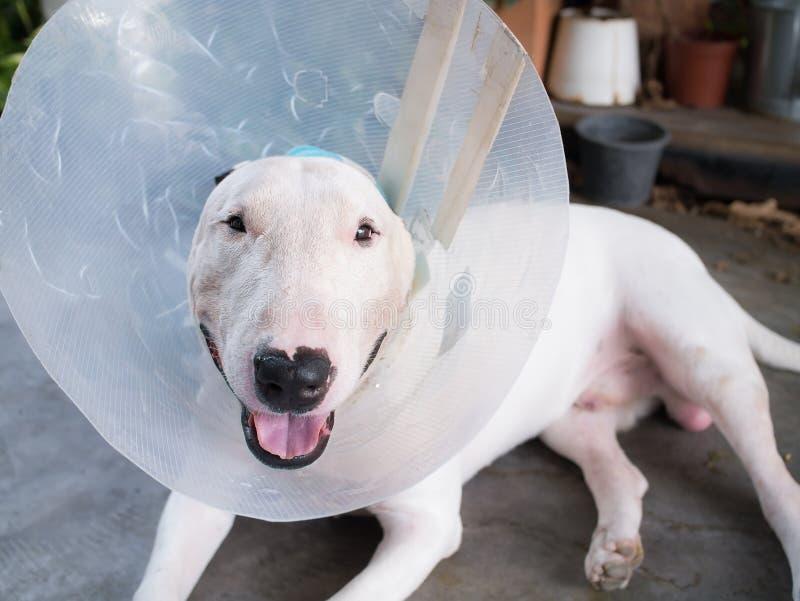 Verwonde Witte bull terrier-hond royalty-vrije stock foto