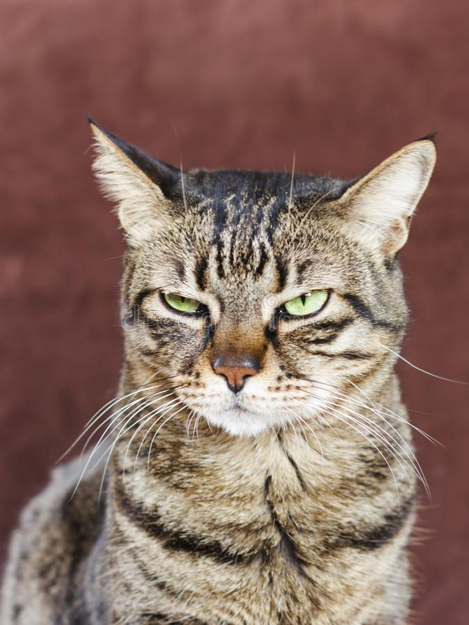 Very angry cat with a narrowed green eye. Looks haughty and evil stock image