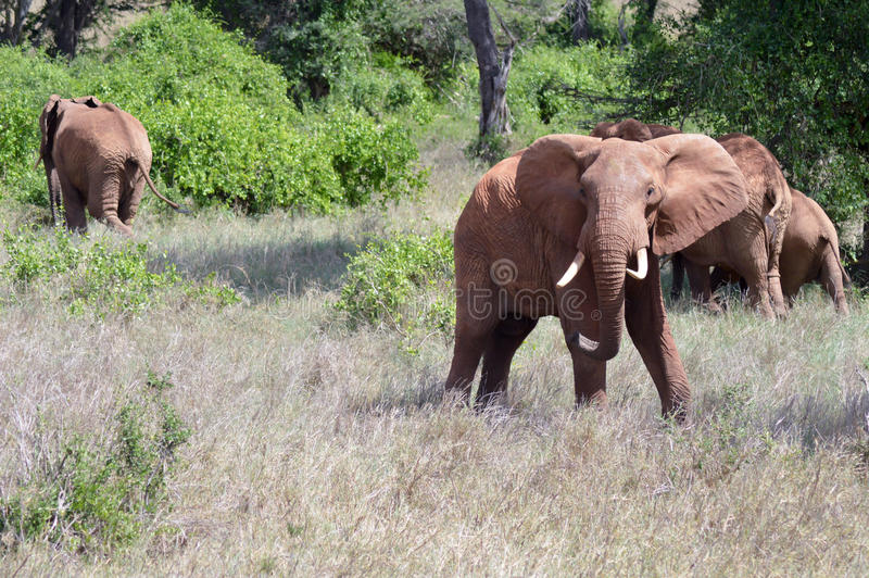 Very angry elephant. In West Tsavo Park in Kenya royalty free stock photos