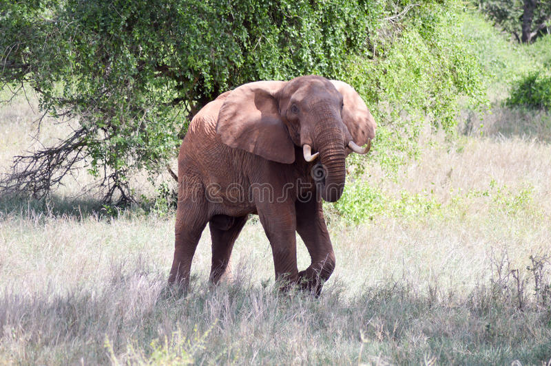 Very angry elephant. In West Tsavo Park in Kenya stock photography