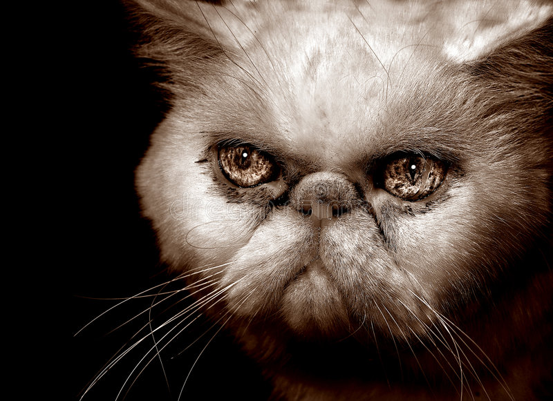 Download Very Angry Persian Cat stock photo. Image of white, puff - 1739004