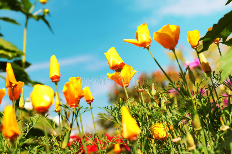 Very beautiful california poppy flower stock photos