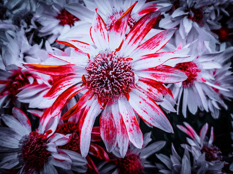 Very beautiful, colorful white flowers with a red border from me with love! royalty free stock photo