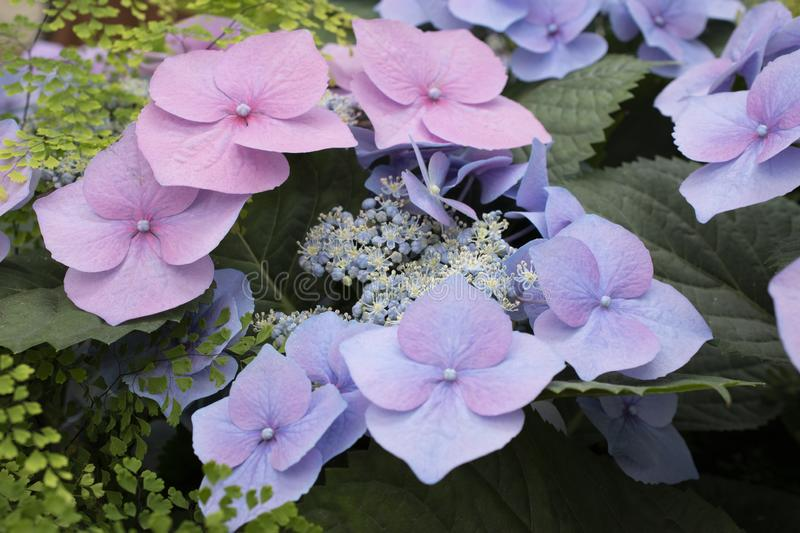 Pink and purple  flowers in the royal garden stock photo