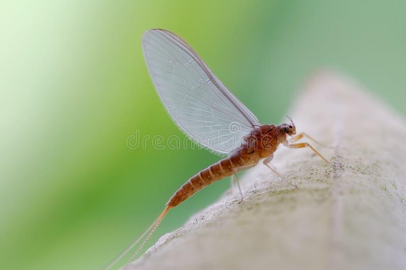 Very beautiful mayfly royalty free stock photo