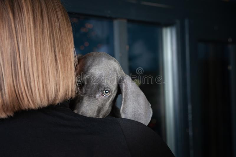 Beautiful puppy looks out and hides behind the hostess, a portrait of the macro, space for text.  Animal protection concept,. Very beautiful puppy looks out and stock image