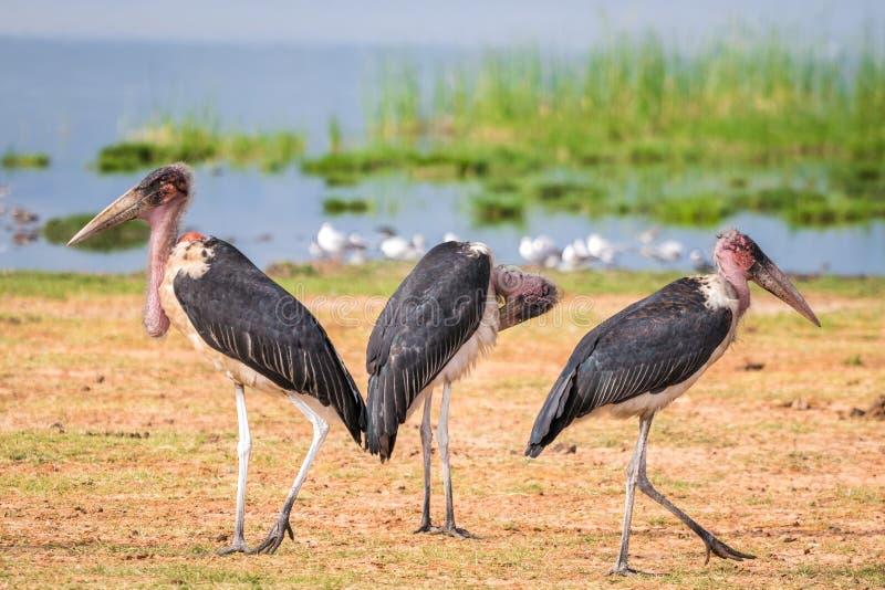 Very big birds called marabous. Marabous over Jipe Lake , Tsavo West National Park, Kenya stock photography