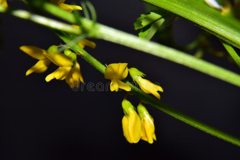 Very nice colorful weed  flower close up in my garden stock image