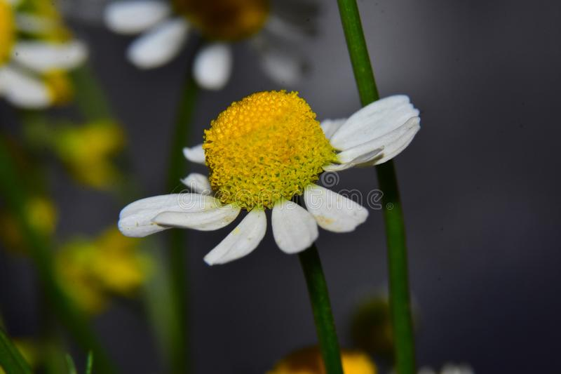 Very nice colorful weed  flower close up in my garden royalty free stock photography