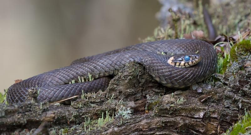 Huge Grass snake laying ringed on tree lichen covered snag while it molts with blue colored eye royalty free stock photo