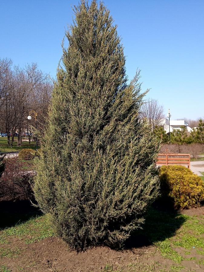 Very big green bush in park in spring, sunny day royalty free stock photography
