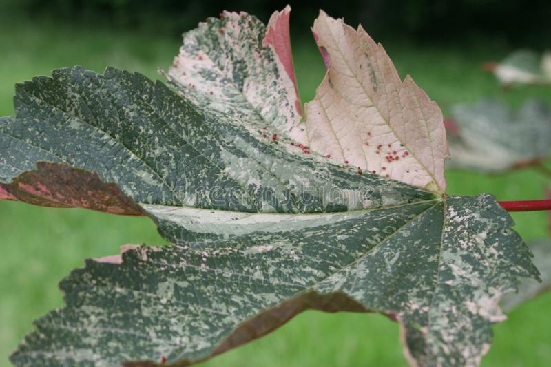 Giant coloured leave with nerves. A very big leave of a plant, with detailled nerves in pink, grey and green stock photos