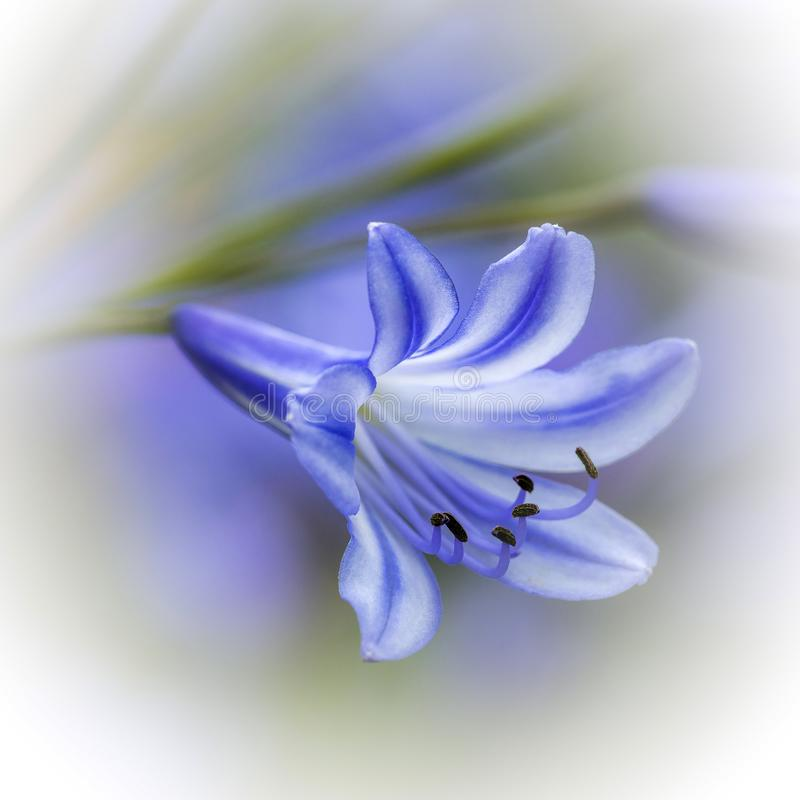 Very blue Agapanthus. Detailed view of a Blue Agapanthus in full bloom on a diffused background royalty free stock photos