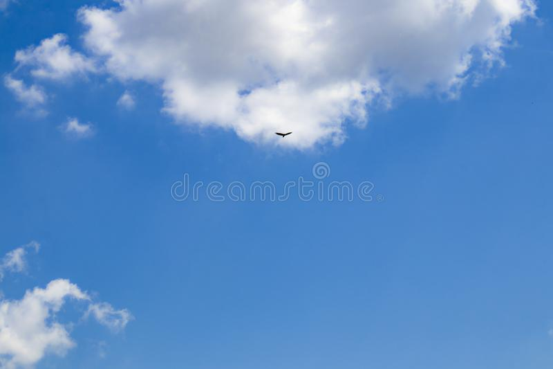 Very blue sky with fluffy clouds at top and right and big bird flying in front of one of them - good for background or copy royalty free stock images