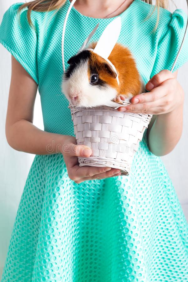 Very caring little guinea pig in white basket with his friend. Love for animals lifestyle , happiness concept . Easter stock images